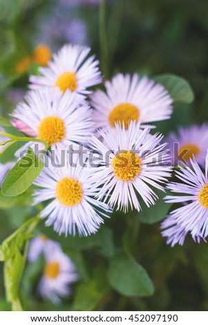 Italian asters in the garden, close up - stock photo