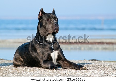 Italian Cane-Corso dog - stock photo