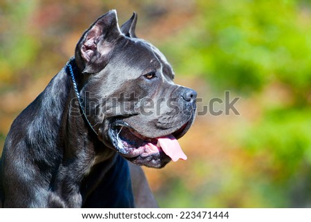 Italian Cane Corso dog in outdoor - stock photo