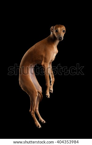 Italian Greyhound Dog Jumping and Hangs in Air, Looking in Camera on Black isolated background, Side view - stock photo