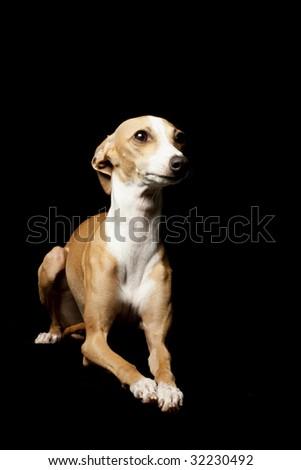 Italian Greyhound isolated on black background. - stock photo