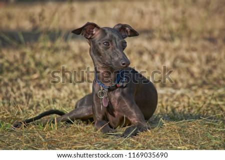 stock-photo-italian-greyhound-lying-down