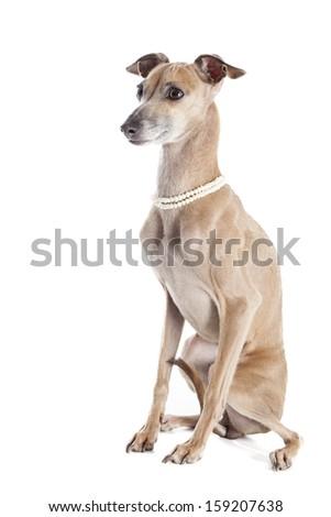 Italian greyhound portrait with beads - stock photo