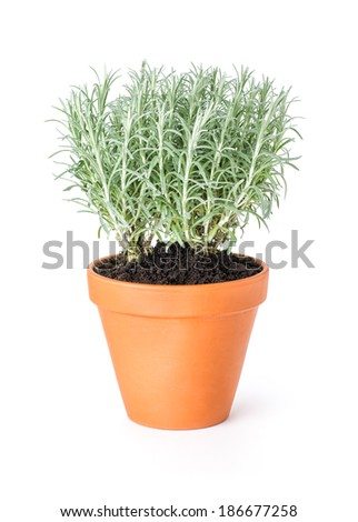 Italian immortelle in a clay pot - stock photo