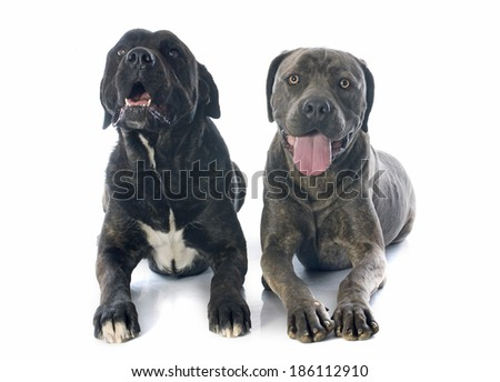 italian mastiff in front of white background