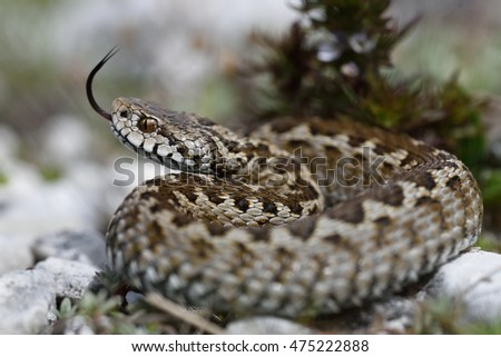 Italian meadow viper (Vipera ursinii ursinii) and its forked tongue