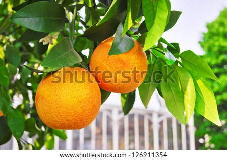 Italian oranges on the branch. Native to China and Southeast Asia, this winter fruit arrived in Europe via the Silk Road and began to be cultivated in warm Sicily, seems from the first century AD. - stock photo