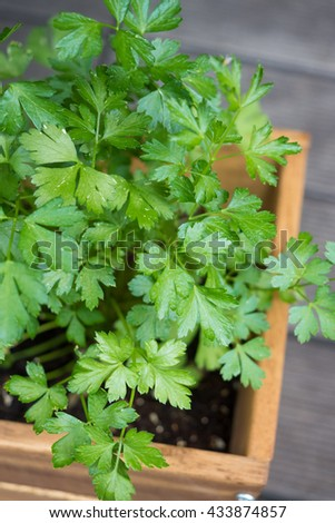 Italian parsley planted in planter