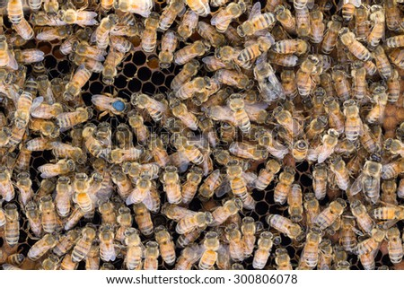 Italian queen bee with abdomen in cell as she lays eggs in brood frame, surrounded by worker bees. Queen was born in 2015 and marked with blue dot, as per standard international color code. - stock photo