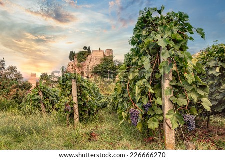 italian vineyard for wine production at dawn - rows of grapevine with a castle in the background in Emilia Romagna, Italy  - stock photo
