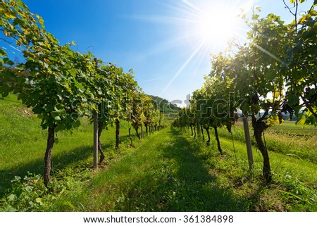 Italian Vineyards with Sun Rays / Typical Italian red grape vineyards at the base of the hill with blue sky and sun rays - stock photo