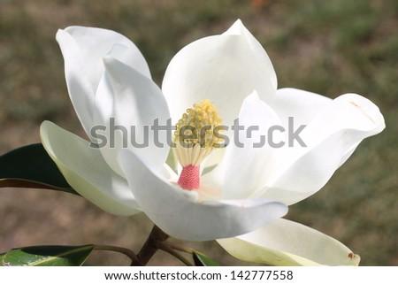 Italian white magnolia - stock photo