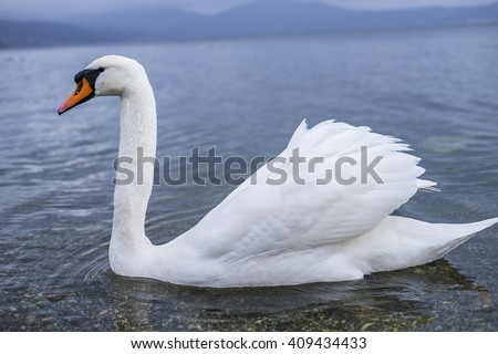 Italy, Bracciano, Anguillara Sabazia - 31 January 2016: Swans at the Bracciano Lake