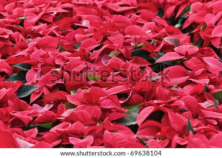 Italy, countryside, Mexican flame leaf plants (Euphorbia pulcherrima) in a greenhouse - stock photo