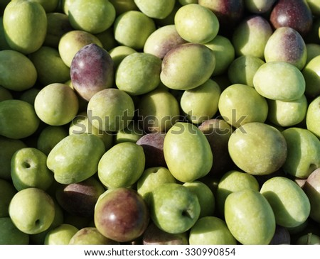 Italy, countryside, olives harvest - stock photo