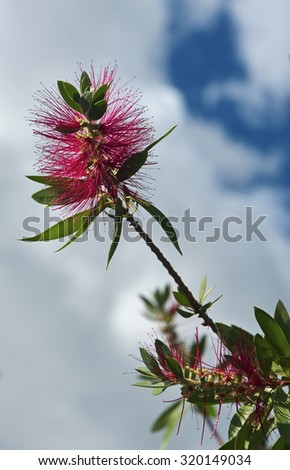 Italy, Feijoa plant flower in a garden (Acca sellowiana Sp.) - stock photo