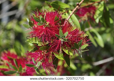 Italy, Feijoa plant flowers in a garden (Acca sellowiana Sp.) - stock photo