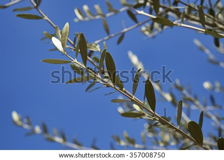 Italy, Sicily, countryside, olive tree leaves - stock photo