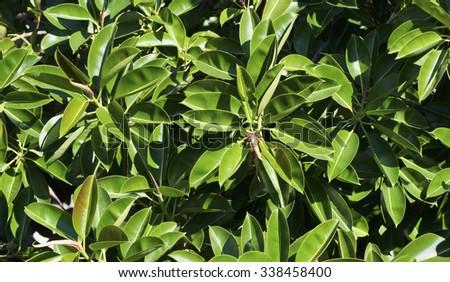 Italy, Sicily, mediterranean Ficus tree (Ficus robusta) in a garden - stock photo