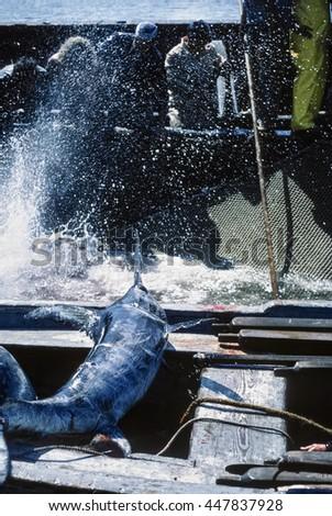 Italy, Sicily, Mediterranean Sea, Favignana Island, fishermen tuna fishing and a swordfish on the boat - FILM SCAN - stock photo