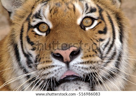Italy, tiger portrait