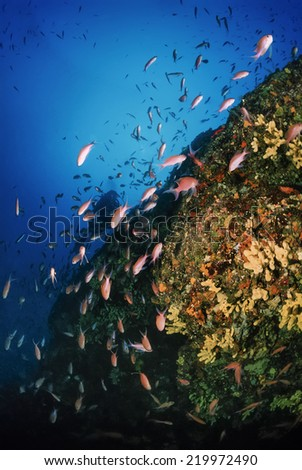 Italy, Tyrrhenian Sea, U.W. photo, Anthias school (Pseudanthias squamipinnis) - FILM SCAN