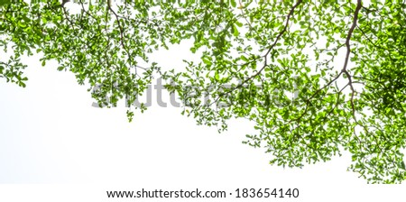 Ivory coast almond branch with sunray on white background. - stock photo