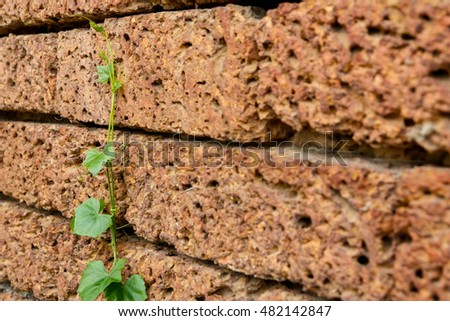 Ivy alone on the wall, strongly grow up concept