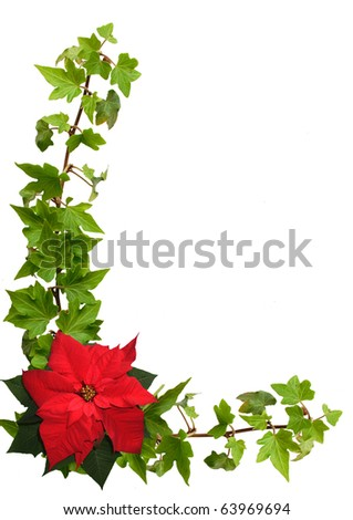 ivy and poinsettia isolated on the white background - stock photo