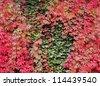 Ivy and Virginia creeper (Parthenocissus quinquefolia) foliage in Autumn - stock photo