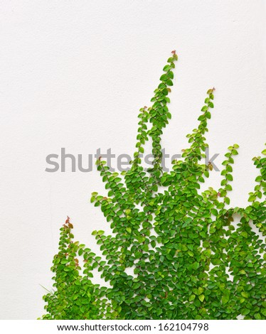 Ivy Background - stock photo