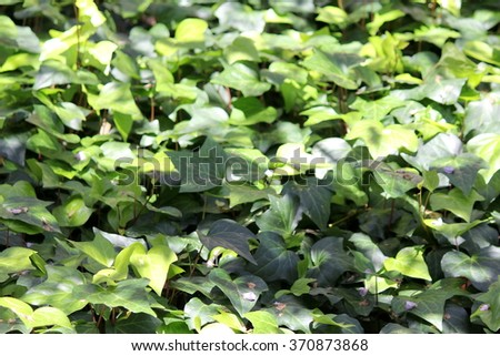Ivy Background - stock photo
