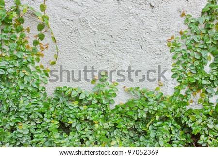 Ivy climbing up the wall. - stock photo