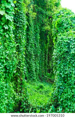 Ivy covered tree becomes a tunnel.  - stock photo