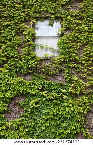 Ivy covered wall with window