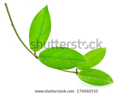 Ivy decorative ornamental species by natural beauty make it a refreshing delight. - stock photo