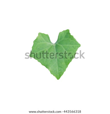 Ivy gourd leaves isolated on white background - stock photo