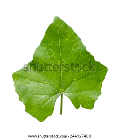Ivy Gourd on white background - stock photo