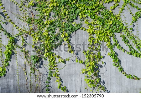 ivy green on wall for decorate - stock photo