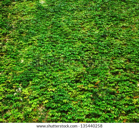ivy green wall - stock photo