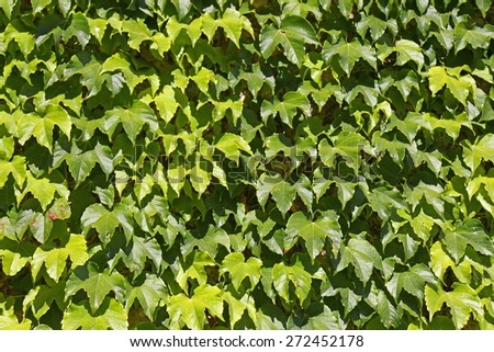 Ivy growing up a wall. Suitable for backgrounds - stock photo