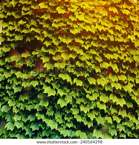 Ivy (Hedera). Wall covered with foliage of ivy. Natural green background. - stock photo