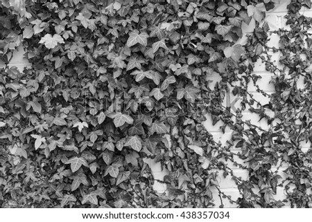 Ivy Hedera with glossy leaves and white veins on the wall. Black and white photo - stock photo