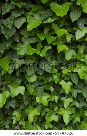 Ivy is covering an old house - stock photo