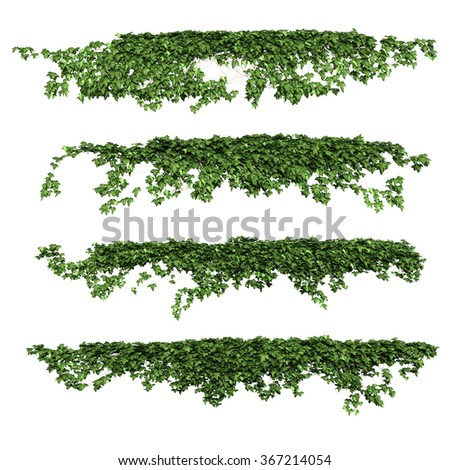 ivy. ivy leaves isolated on a white background. - stock photo