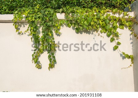 ivy leaves isolated on a white wall - stock photo