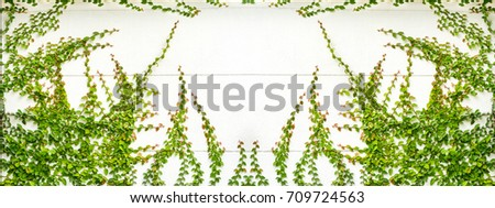 ivy leaves on white wall background