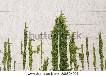 Ivy on the wall - stock photo