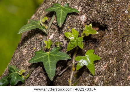 Ivy on tree - stock photo