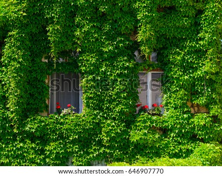 Ivy on wall with windows